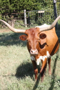 Texas longhorn from the Lockhart/Luling corridor